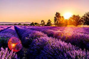 lavender field near my location