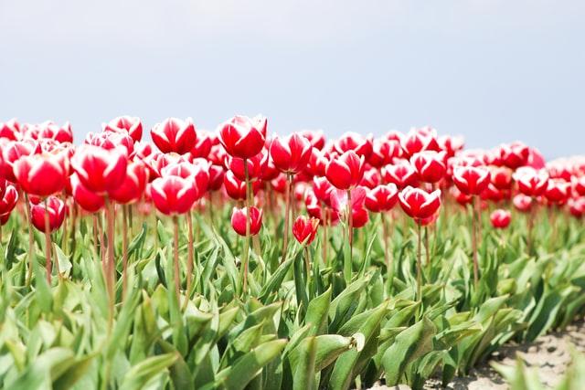 tulip field near my location